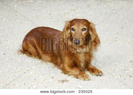 Dachsund Dog