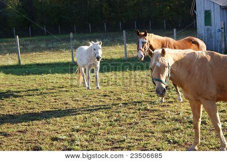 Horses Staring