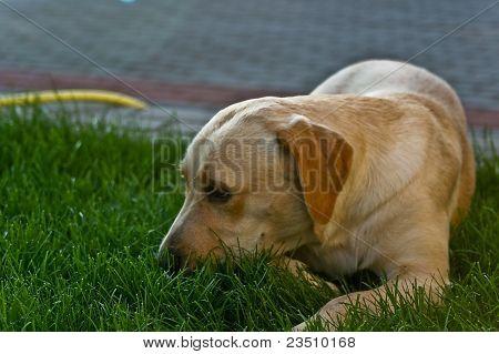 Labrador Dog , Golden Retriever