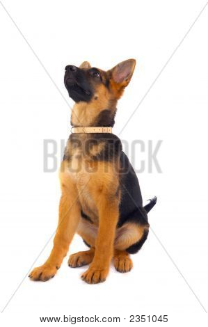 Young German Shepard