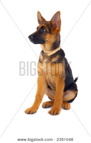 German Shepard Sitting