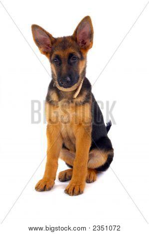 Sitting German Shepard Dog