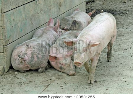 Pigsty Of A Farm With Some Pigs  Pink