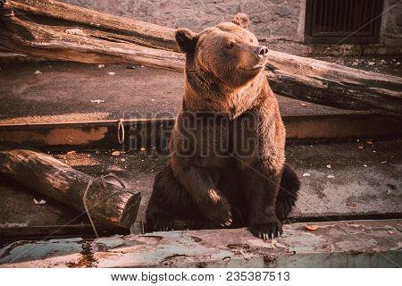 poster of A Brown Bear (ursus Arctos) Sits In Zoo. Big Brown Bear Sitting On Wooden Floor. Brown Bear Sitting