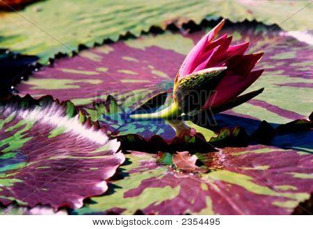 Unique Waterlilly