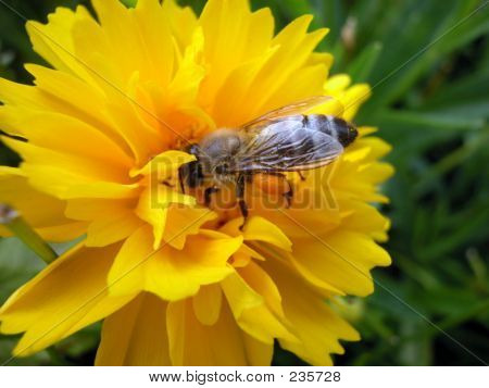 Bee Yellow Flower