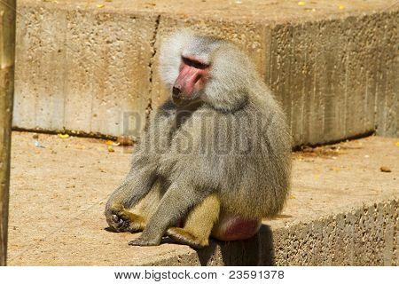 Baboon, monkey