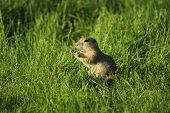 pic of gopher  - A gopher calling out in the middle of a meal