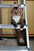 Frisky Tabby Cat Standing Up On His Hind Legs. Serious Business Tabby Cat In Front Looking On Camera poster