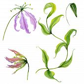 Beautiful Purple Gloriosa Flower (flame Lily) On A Stem. Floral Set (flowers, Leaves On Climbing Twi poster