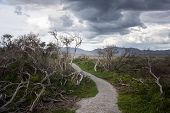 Winding Path Through Twisted Tea Trees On Wilsons Prom, Australia poster