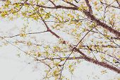 Soft-tones Pink And White Spring Blossoms On A Tree With Overcast Sky In The Background And Edited W poster