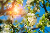Spring Flowers Of Apple Tree Blooming In The Sunny Spring Garden. Natural Spring Flower Landscape Wi poster