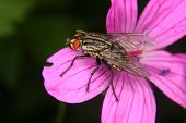 picture of blowfly  - Blowfly  - JPG