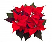 foto of christmas flower  - poinsettias Christmas flower isolated on white background - JPG