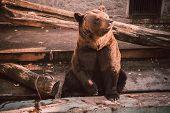 A Brown Bear (ursus Arctos) Sits In Zoo. Big Brown Bear Sitting On Wooden Floor. Brown Bear Sitting  poster