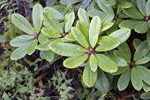 Big Azalea Leaves Or Rhododendron In Winter Garden. Green Azaleas Bush (rhododendron). Colorful Rhod poster