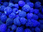 Fresh And Sweet Blue Raspberries Texture Background. Raspberry Fruit Pile Background. Selection Of F poster