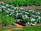 Vegetable Garden Beds. Raised Bed Cabbage Tomato Salad Lettuce Vegetable Garden Container In Spring. poster
