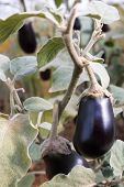 Eggplant Growing On A Bush. A Violet Vegetable On A Bush. poster