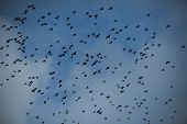 Birds Fly To Warmer Lands. Migratory Birds Concept. Black Birds Or Crows In Dark Sky. Many Small Bir poster