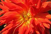 Red Dahlia Flower In The Botany Garden poster