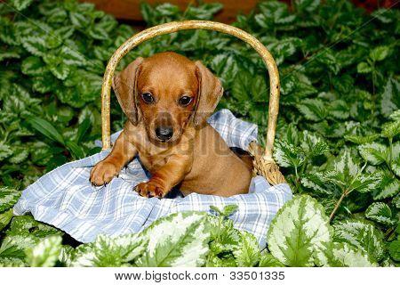 Dachshund Puppy in a Basket
