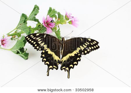 Butterfly On Hollyhock
