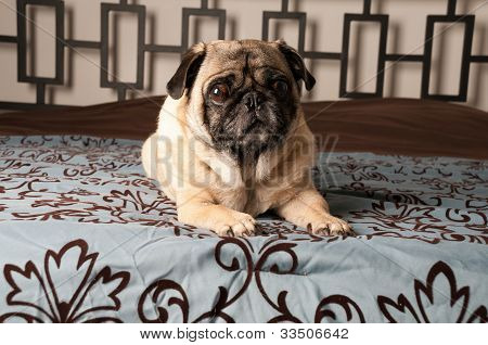 Pug Laying Down on Bed