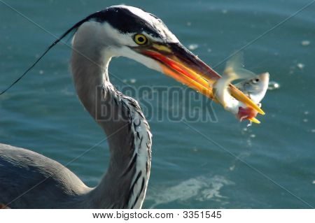 Heron With Struggling Fish