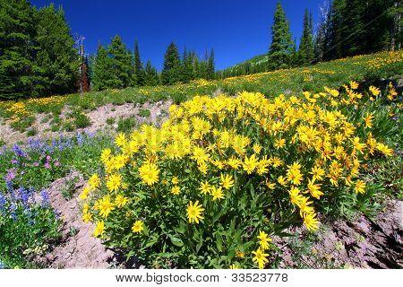 Yellowstone National Park Wildflowers