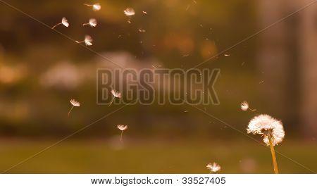 Dandelion Pollen Flower
