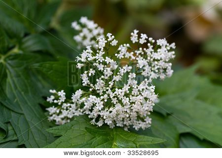 Valeriana on the leaves -  Valeriana officinalis  , close up