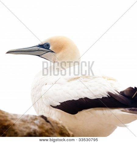 Portrait of resting gannet isolated on white