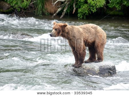 Large Brown Bear Sitting On Rock