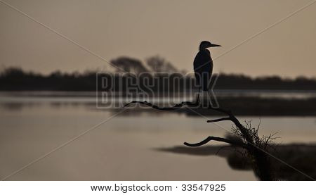 Great blue heron, ardea Herodias, profile