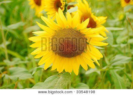 Salem Sunflowers