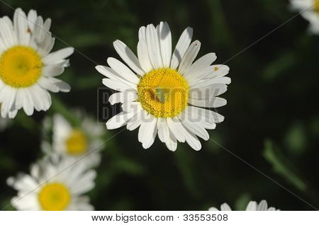 Blue-eyed grasshopper on a camomile