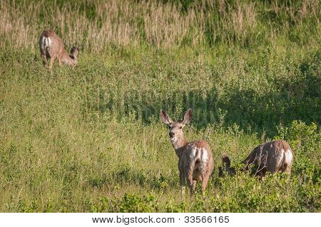 Three Mule Deer (Odocoileus hemionus)