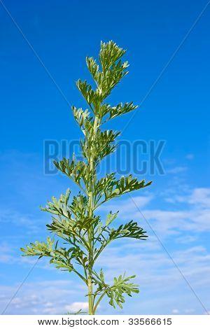 Sagebrush Plant Against Blue Sky