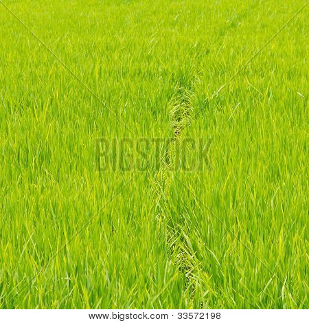 Thrived Rice Land For Background