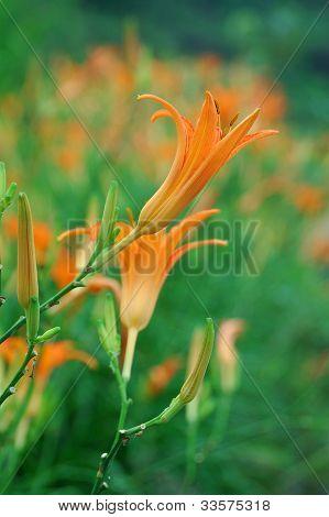Liliaceae flower