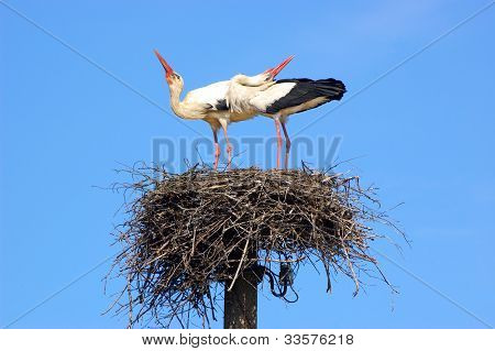 Marriage ritual of storks
