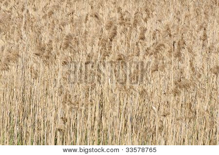 Common Reed (Phragmites)