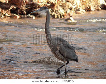 Great Blue Heron Taking A Walk