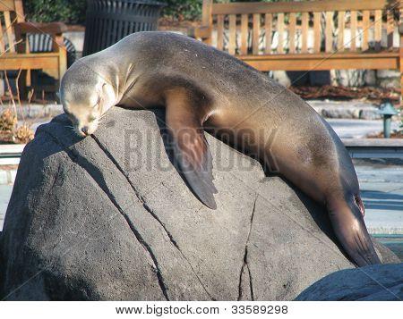 Seal sun bathing