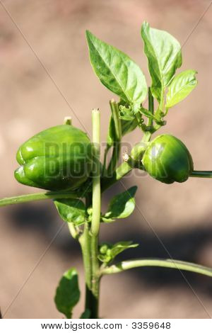 Young Green Peppers
