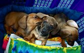 Dachshund Puppy Dogs Three