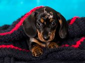 Dachshund puppy sits hiding in a large large-knit scarf poster