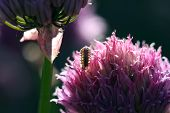 foto of woodlouse  - Woodlouse backlite by sun on chive flower - JPG